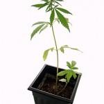 Marijuana, Teenagers and Youth Ministry