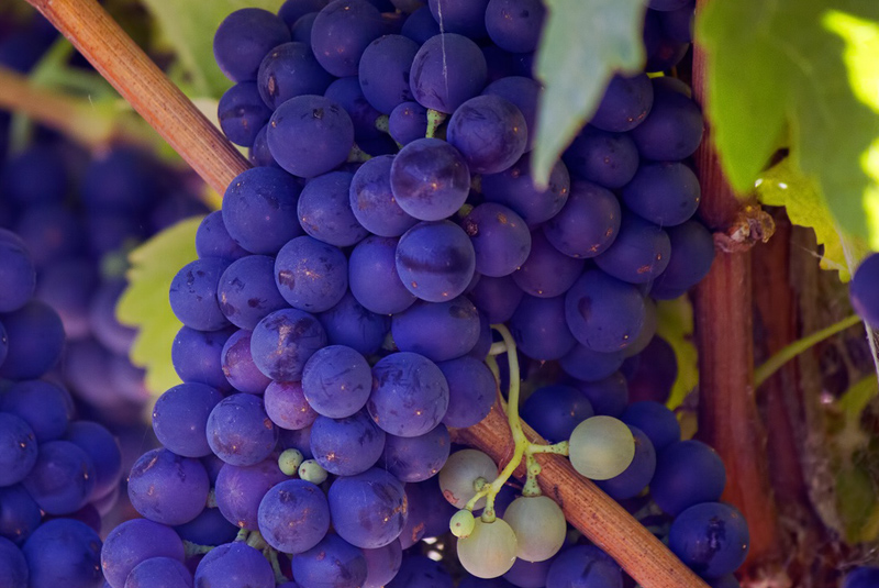 Grapes - Staying Connected to the Vine
