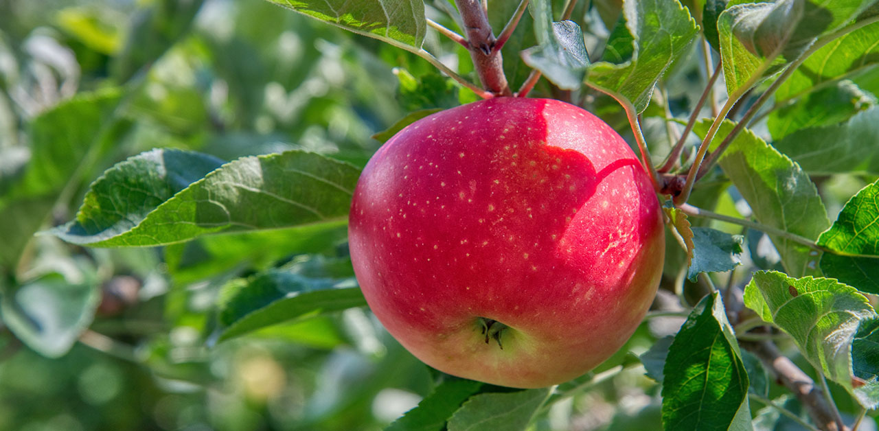 Apple on a tree to show youth leaders how to produce spiritual fruit in their ministry and Biblical outcomes